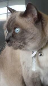 "Adult Female Cat - Siamese: ""AGAPE"""