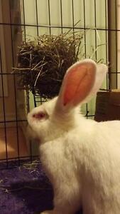 """Adult Female Rabbit - New Zealand: """"McTwisp"""" Cambridge Kitchener Area image 3"""