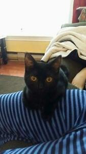 "Young Female Cat - Domestic Short Hair-black: ""Bubble"""