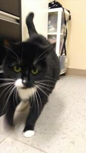 """Adult Female Cat - Domestic Short Hair: """"Zoey"""""""