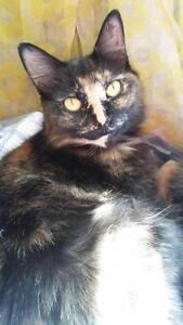 "Young Female Cat - Domestic Short Hair: ""Jade"""