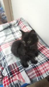 "Baby Male Cat - Domestic Short Hair-black: ""Ben"""
