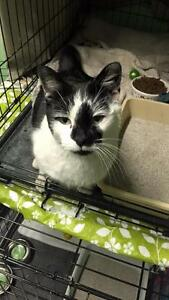 "Adult Male Cat - Domestic Short Hair-black and white: ""Lucky"""