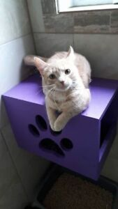 "Young Male Cat - Domestic Short Hair: ""Charlie"""