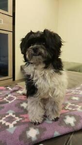 """Young Female Dog - Maltese-Shih Tzu: """"Niu Niu"""""""