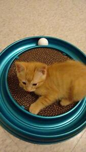 """Baby Male Cat - Domestic Short Hair: """"Marlin"""" Cambridge Kitchener Area image 1"""