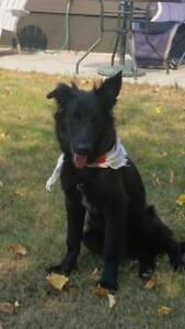 """Young Male Dog - Border Collie-Mixed Breed: """"Marty"""""""