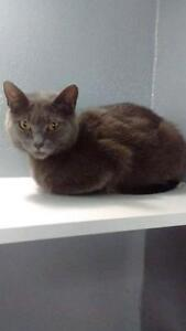 "Young Female Cat - Russian Blue-Domestic Short Hair: ""Princess"""