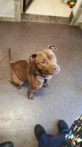 "Adult Female Dog - Pit Bull Terrier: ""Jessie"""