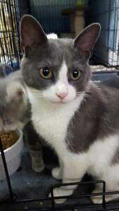 """Adult Female Cat - Domestic Short Hair (Gray & White): """"Alley"""""""