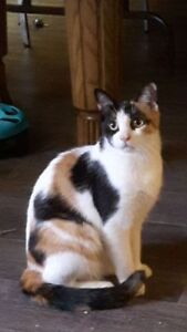 Young Female  - Domestic Short Hair-Calico