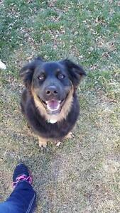 "Adult Male Dog - Border Collie-Shepherd: ""Hobbs"""