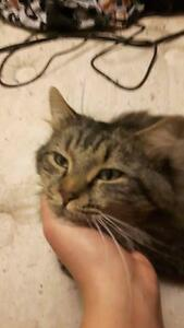 """Adult Male Cat - Domestic Long Hair: """"Fluffy"""" West Island Greater Montréal image 1"""