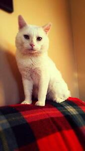 "Adult Male Cat - Domestic Short Hair-white: ""Brutus"""