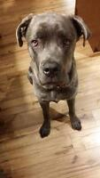 "Young Male Dog - Cane Corso Mastiff: ""Zeus"""