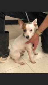 "Adult Male Dog - Terrier: ""CHASE"""