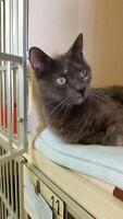 "Young Female Cat - Domestic Short Hair: ""Nadine"""
