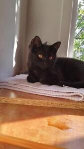 """Young Female Cat - Domestic Short Hair (Black): """"Adlay"""""""