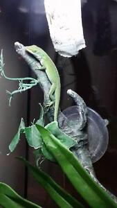 """Young Male Scales, Fins & Other - Lizard: """"Larry"""""""