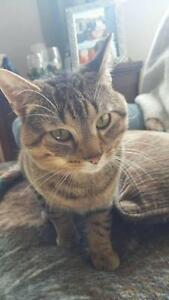 "Adult Male Cat - Tabby - Brown: ""Willie"""