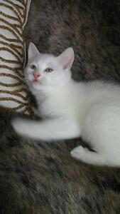 "Young Male Cat - Domestic Short Hair-white: ""Coton"""