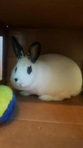 "Young Female Rabbit - Dwarf: ""Marlyin Monroe"""
