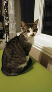 "Adult Female Cat - Domestic Short Hair: ""Yasmine"""