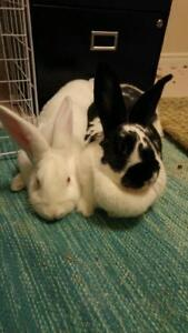 """Adult Female Rabbit - New Zealand: """"Vienna and Lily"""""""