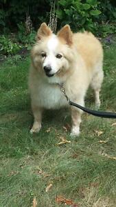 "Senior Male Dog - Border Collie-American Eskimo Dog: ""Jessie"""
