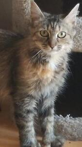 """Young Female Cat - Tabby (Brown): """"Hazel"""""""