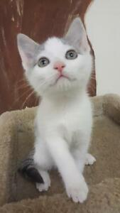 "Baby Male Cat - Domestic Short Hair: ""Teddy"""