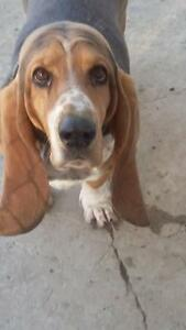 "Adult Female Dog - Basset Hound: ""Molly"""