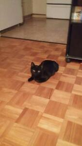 "Young Male Cat - Domestic Short Hair (Black): ""Bhody"""