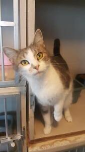 "Adult Female Cat - Domestic Short Hair-Calico: ""Mrs Pickles"""