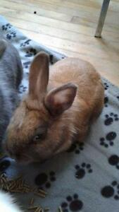 "Young Female Rabbit - Bunny Rabbit: ""Maeva"""