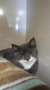 """Baby Female Cat - Domestic Short Hair: """"Cammie"""""""