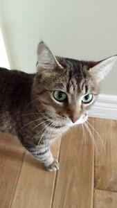 "Young Female Cat - Tabby - Brown: ""Kyla"""
