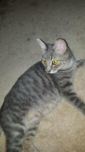 "Adult Female Cat - Domestic Short Hair-Tabby (Gray): ""Pita"""