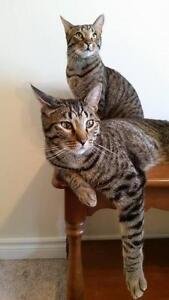 """Young Male Cat - Tabby: """"Max and Franklin"""""""