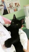 "Young Male Cat - Domestic Short Hair: "",Bruce"""