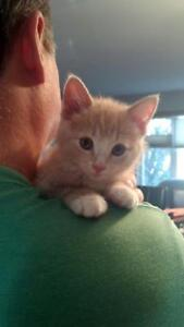 "Baby Male Cat - Domestic Short Hair-Tabby: ""F-Scaffer"""
