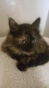 "Baby Female Cat - Domestic Medium Hair-Tortoiseshell: ""Misty"""