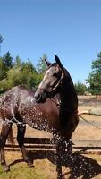 """Young Male Horse - Thoroughbred: """"Jacuzzi Bob"""""""