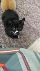 "Baby Male Cat - Domestic Short Hair: ""Rocket *adoption Pending"""