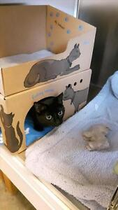 """Young Female Cat - Domestic Short Hair: """"Boo"""""""