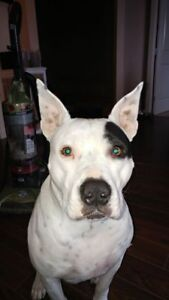 """Adult Male Dog - Pit Bull Terrier: """"Dude"""""""