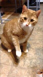 """Young Male Cat - Domestic Short Hair-orange: """"Oliver"""""""
