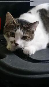 """Young Female Cat: """"Kat (polydactyl)"""" West Island Greater Montréal image 1"""