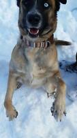 "Adult Female Dog - Husky: ""Jade"""