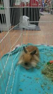 "Young Male Rabbit - Lionhead-Mini Lop: ""Punky"""